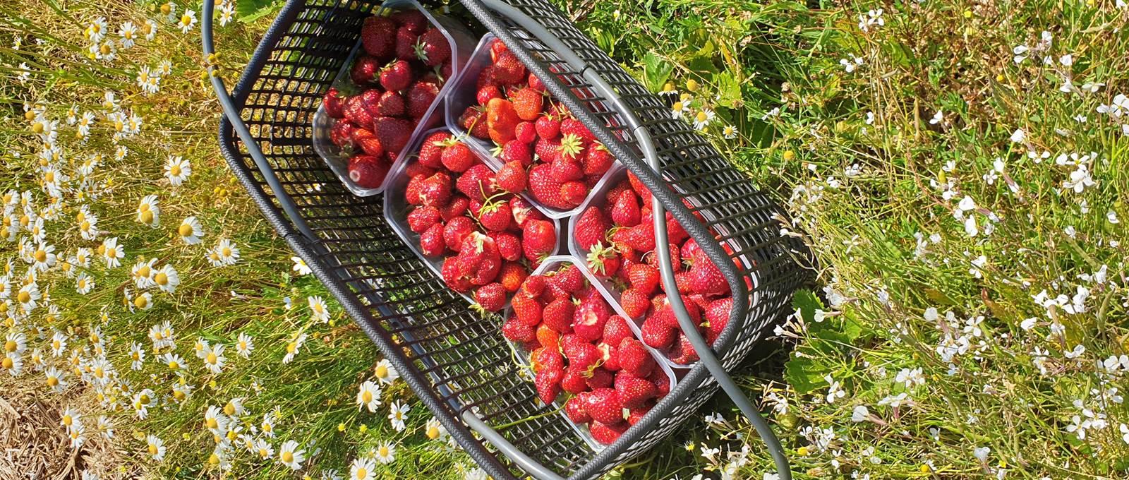 La cueillette de fraises