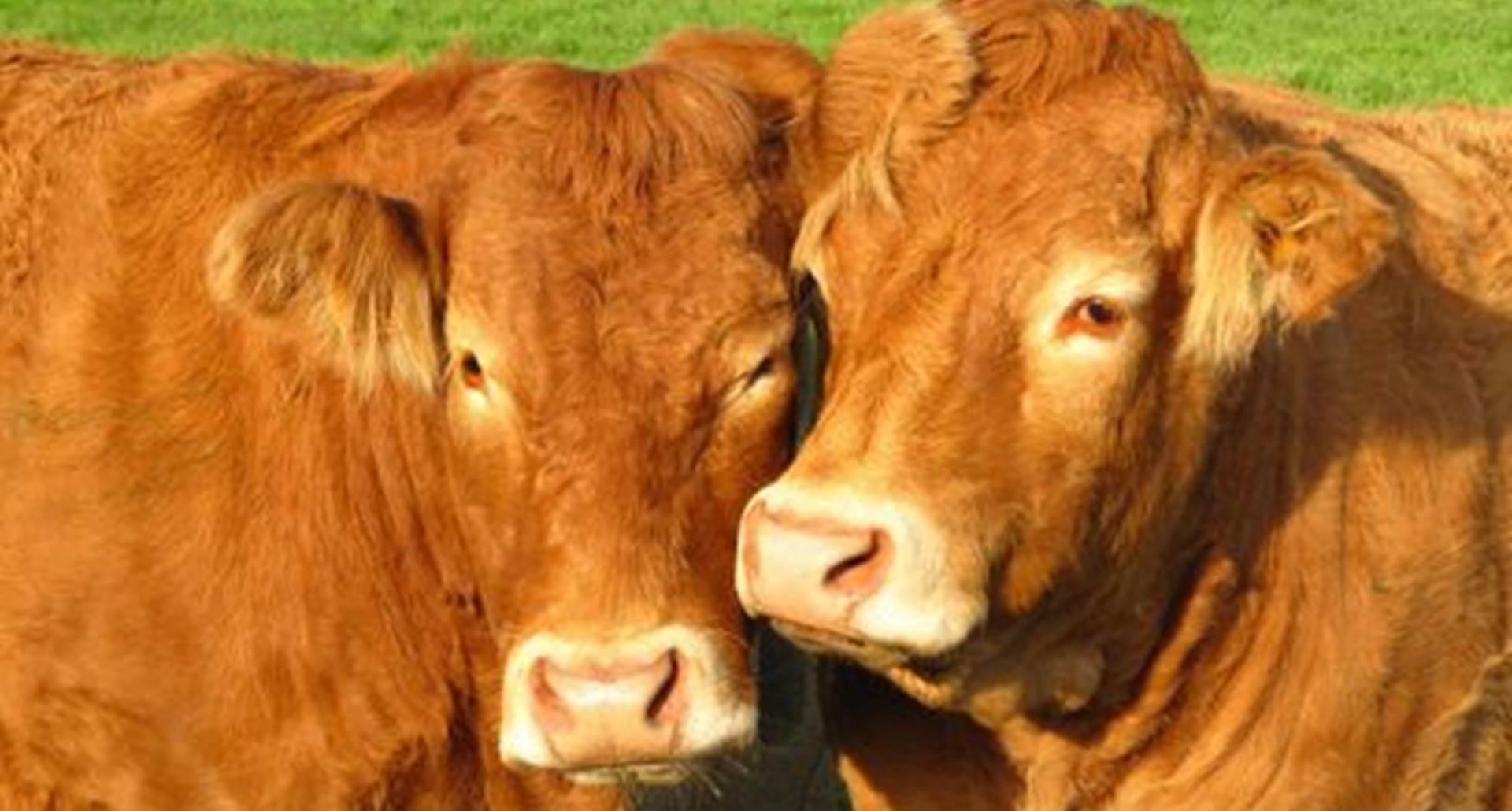 les vaches limousines Haute Vienne Saint Léonard de Noblat Table d'hôtes