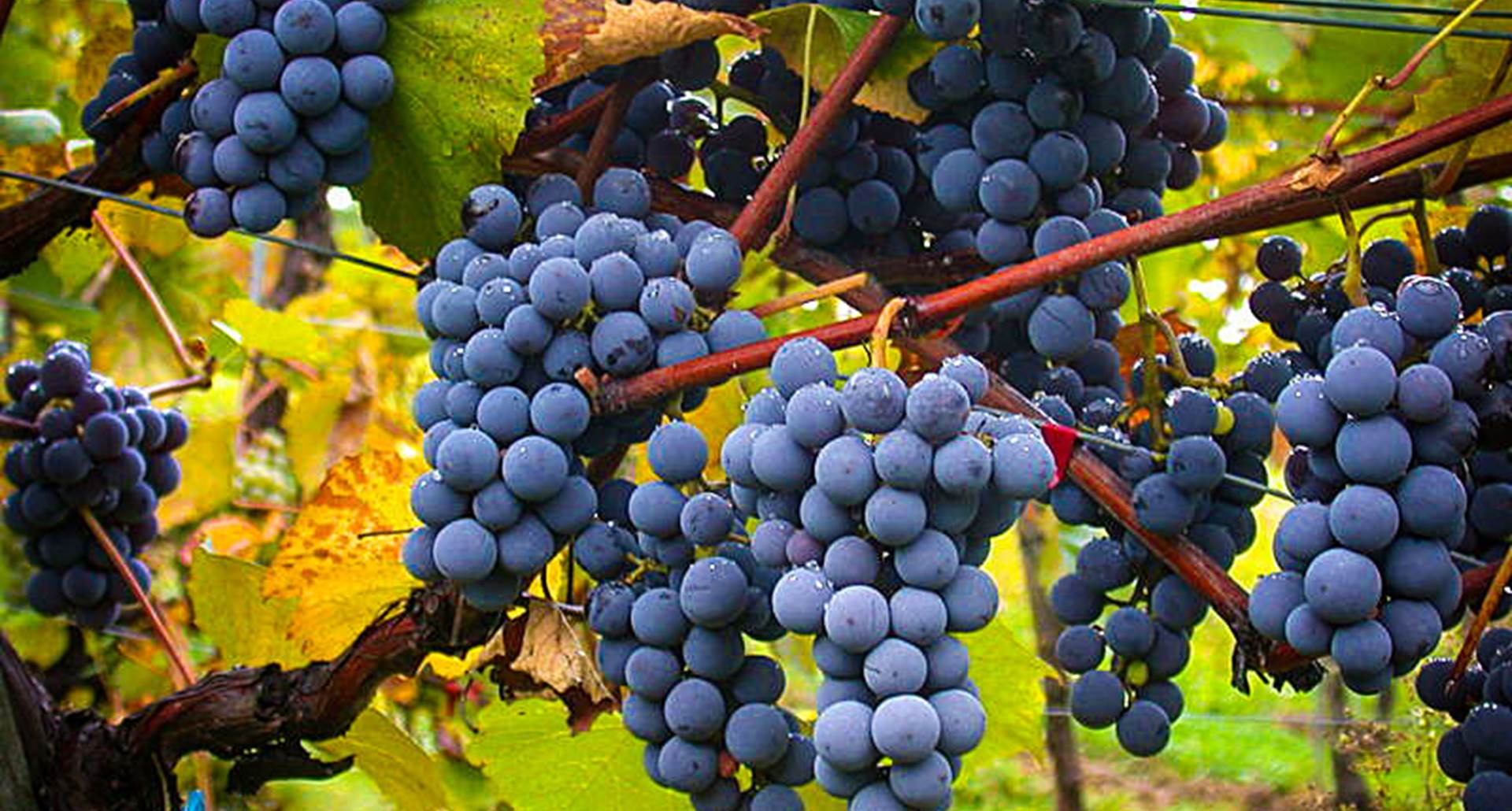Beaujolais Vin Gamay Chardonnay