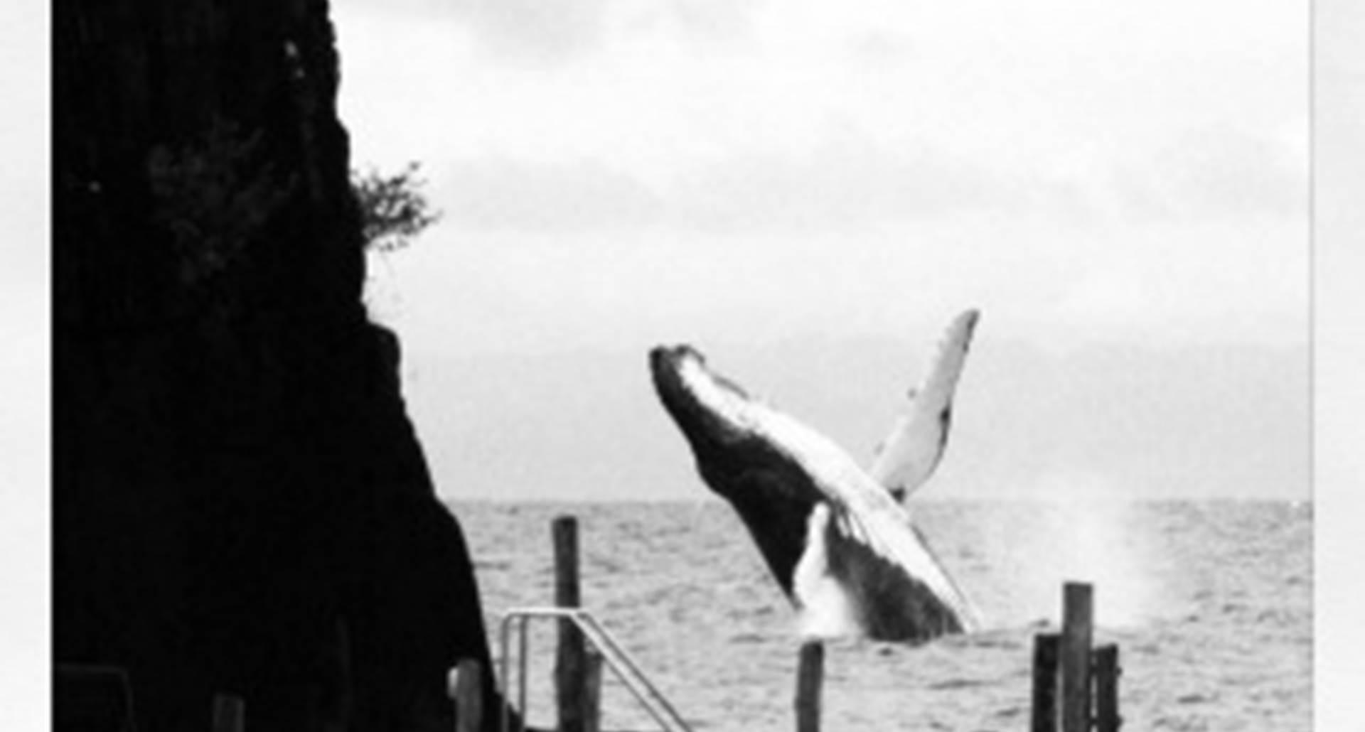 saut de baleine derrière le rocher !!! de juillet à septembre