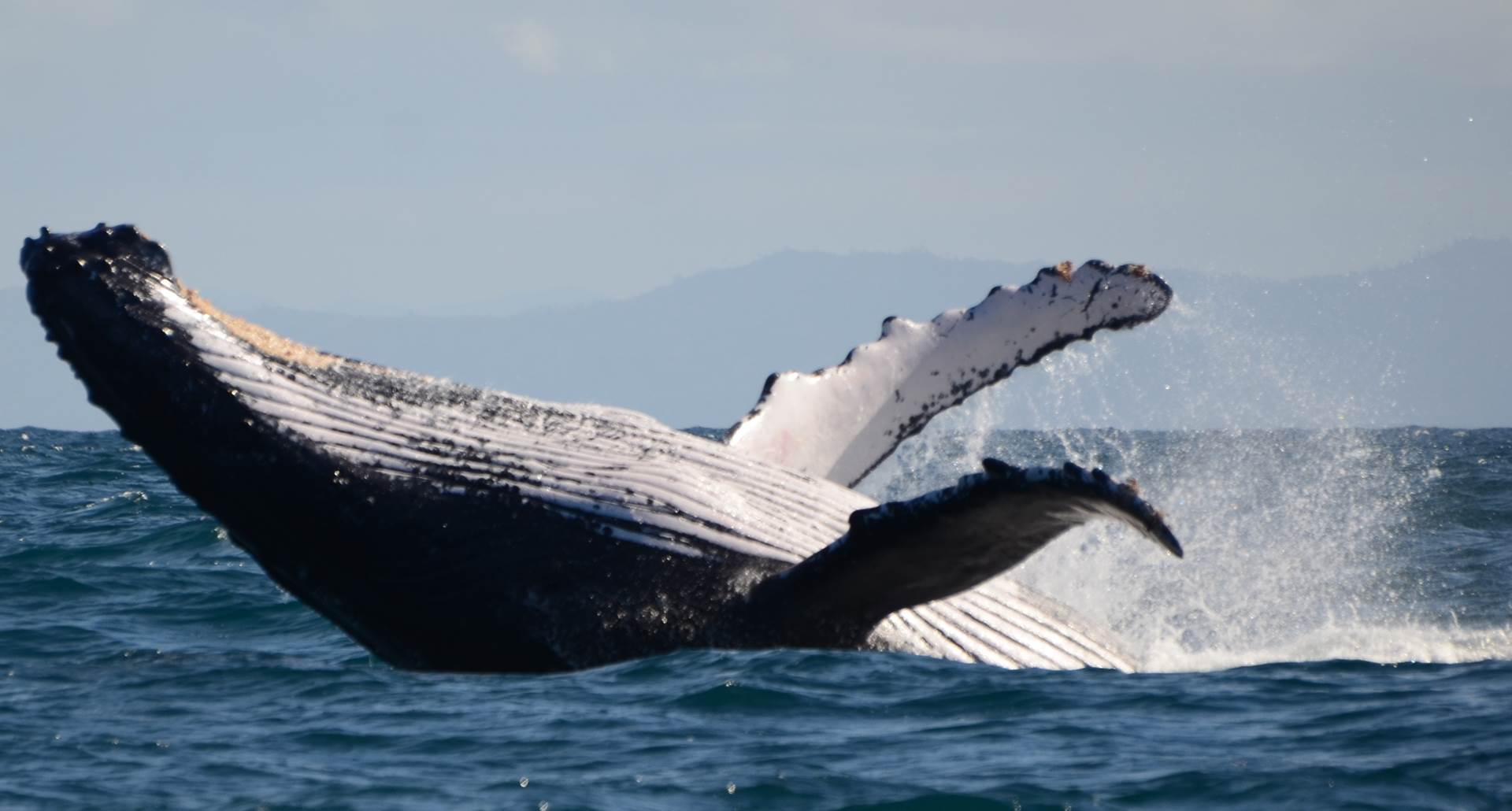 saut de baleine ( de juillet à septembre )