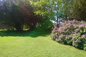 rhododendron en pleine floraison