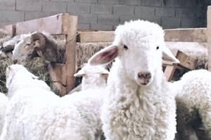 Un agneau Pyrénéen
