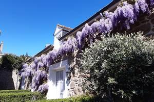 Clos de la Fontaine Dinard, la glycine en fleur