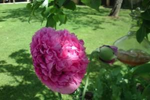 Rose nacré des pavots .. pour les visiteurs du printemps !