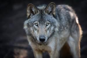 2020-loup-nouveaute