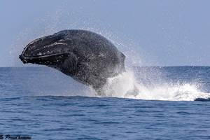 baleine 974 by isabelle preud'homme   cocoboat