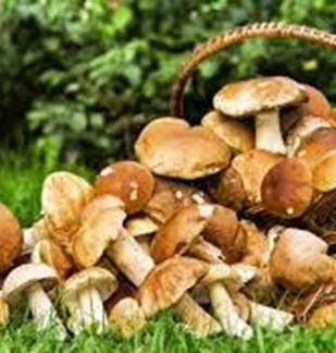 Plantes et savoirs en Ardennes : sorties champignons