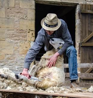 Démonstration de tonte des moutons
