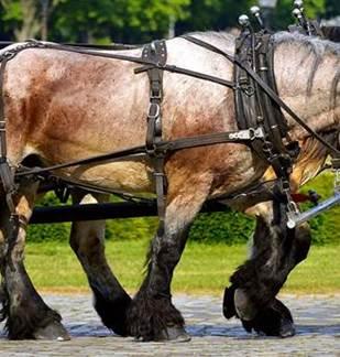 Concours : Utilisation de chevaux de trait en attelage