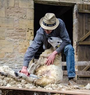 Démonstration de Tonte de Mouton