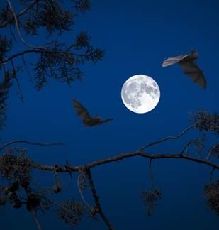 Nuit de la chauve-souris