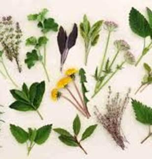 Plantes et savoirs en Ardennes : sortie plantes médicinales