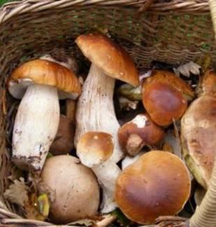 Les champignons de la forêt de Signy l'Abbaye