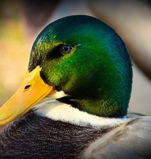 Sortie nature: Les oiseaux d'eau des Ayvelles