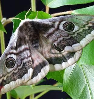 Découverte des papillons de Nuit