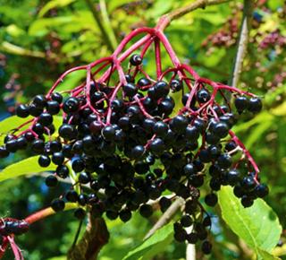 Au fil des arbres & arbustes (propriétés culinaires & thérapeutiques)