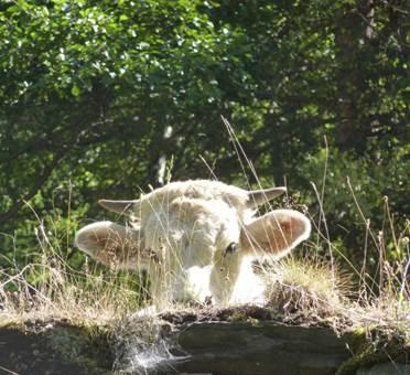 vache Izourt