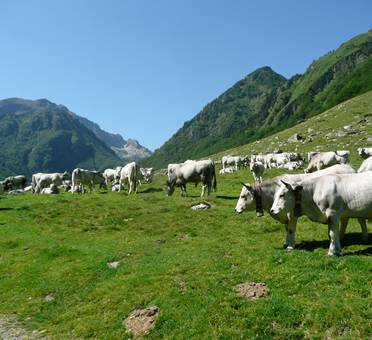 En Gaudu, les vaches - Refuges en Beys