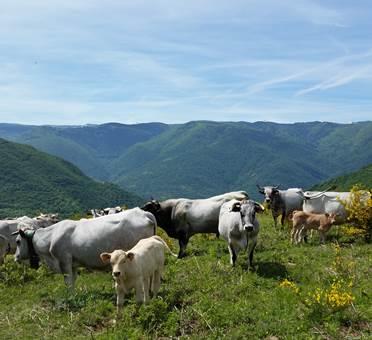 camping à la ferme à verdun - les vaches