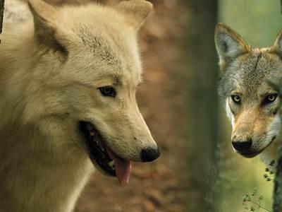 Week-end spécial loups au Parc Argonne Découverte