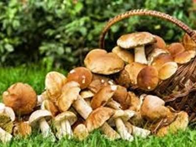 Plantes et savoirs en Ardennes : sortie champignons