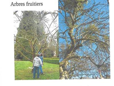Animation Croqu'Ardenne: restauration de vieux arbres fruitiers