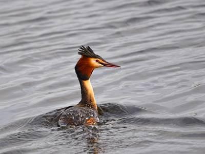 Animation : Les oiseaux hivernants du lac de Sedan