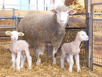 Les volailles et agneaux de la ferme
