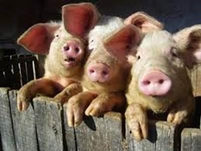Les trois petits cochons à la ferme pédagogique de Liart