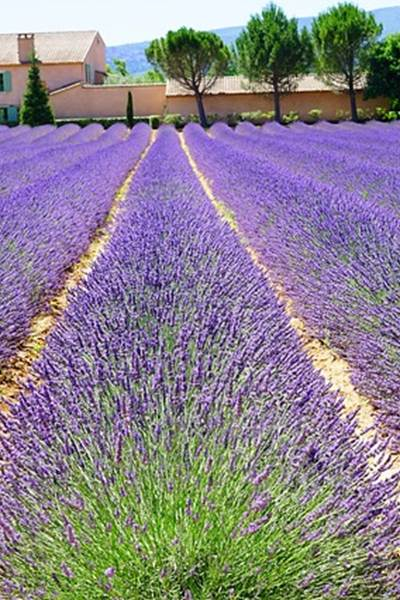 lavender-1595491_640