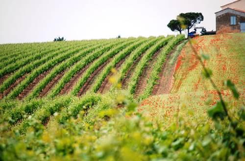 Vignes Toquées ©