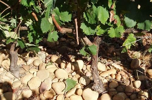 Vigne Mourgues du Grès ©