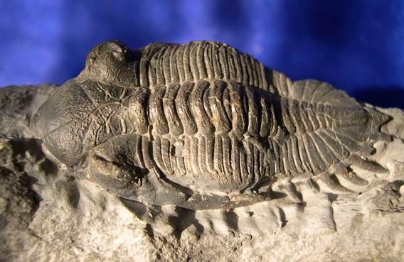 Trilobite Asteropyge sp