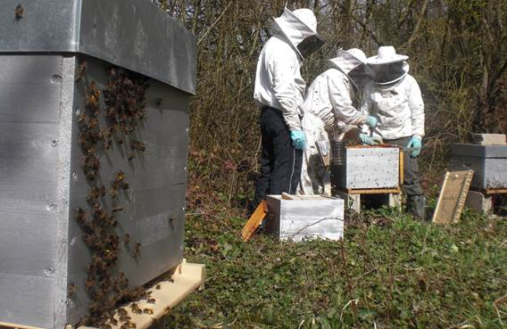 Visite rucher du marcassin