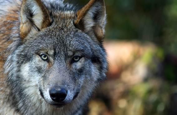 Loup gris - face-©-PAD-Anne-FREZARD