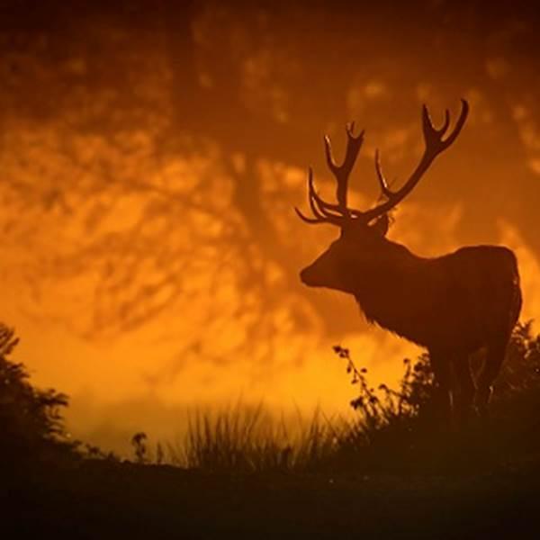 Brame du cerf, une étonnante expérience