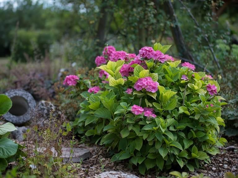 Bush fleurs fushia