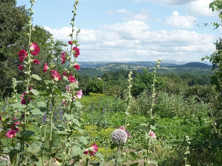 Les roses trémières dans le jardin fouillis