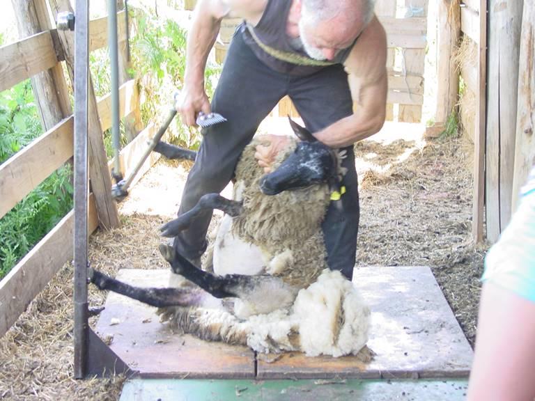 demonstratie schapen scheren