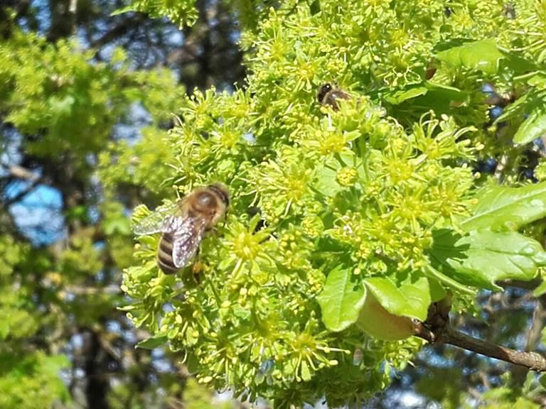 Apis Mellifera ou abeille noire dans les érables champêtres
