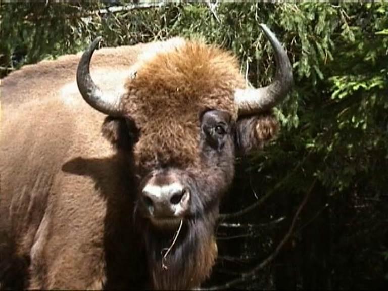 Un beau spécimen de Bison d'Europe.