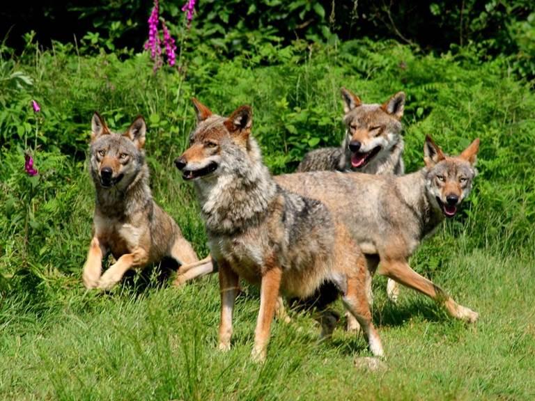 Loups de Chabrières1