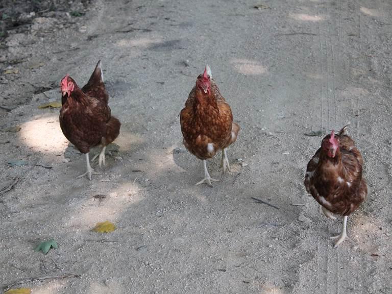 Les poules à l'étoile perchée