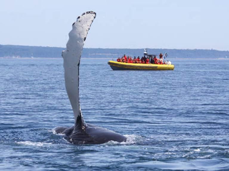 expedition-en-zodiac-2-h-tadoussac-et-baie-sainte-catherine-queue-de-baleine