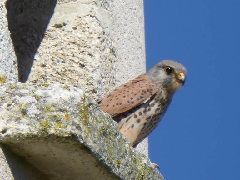 Mr le faucon à sa fenêtre...