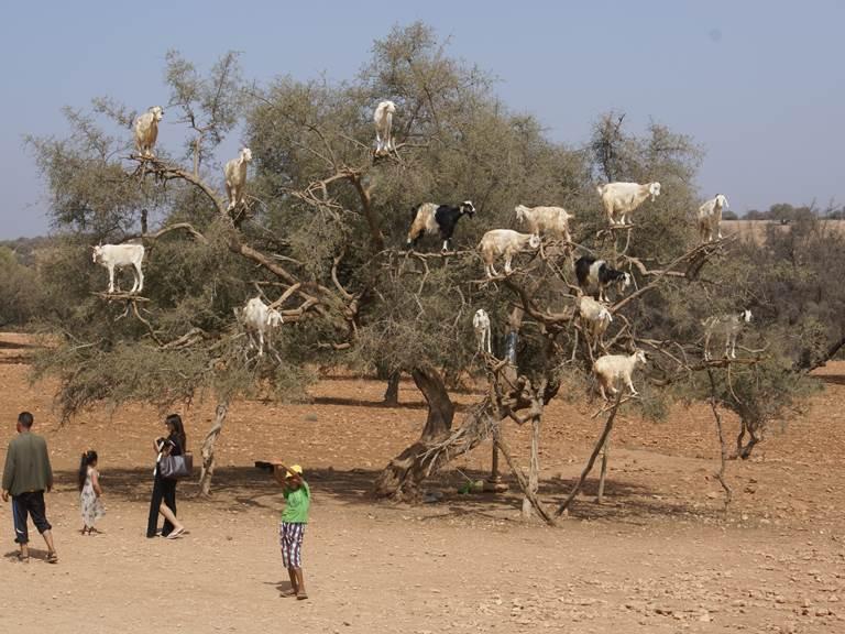 chèvres-arganier-essaouira-villa-aalma-dor-marrakech