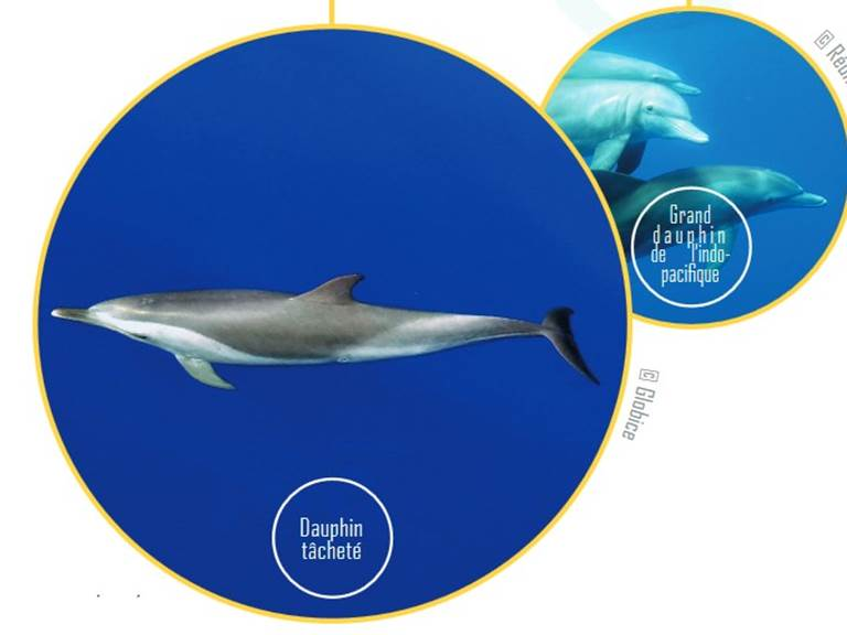 dauphins 974