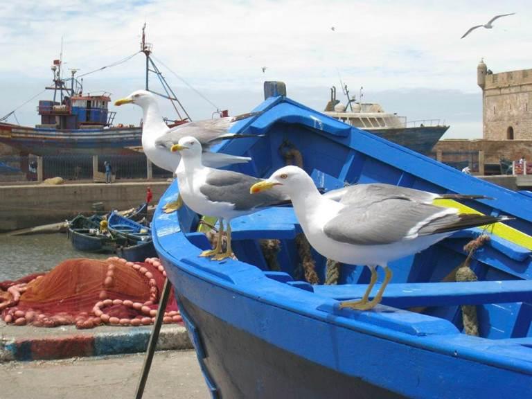 les goélands d'Essaouira
