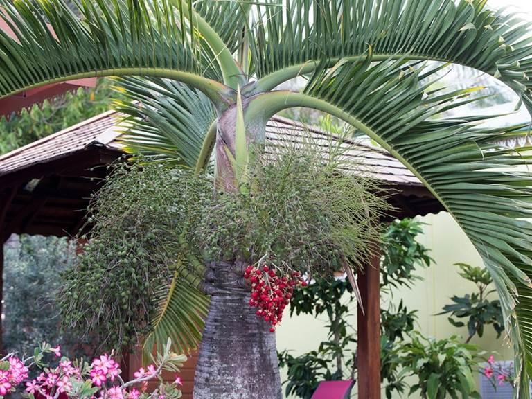 Palmier bonbonne à l'avant du kiosque